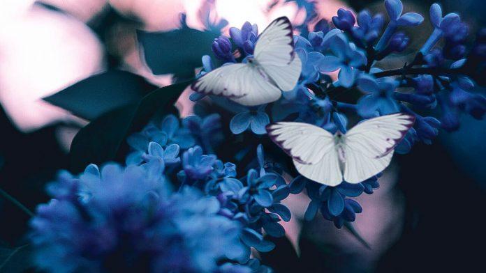 báo hiệu khi thấy bướm