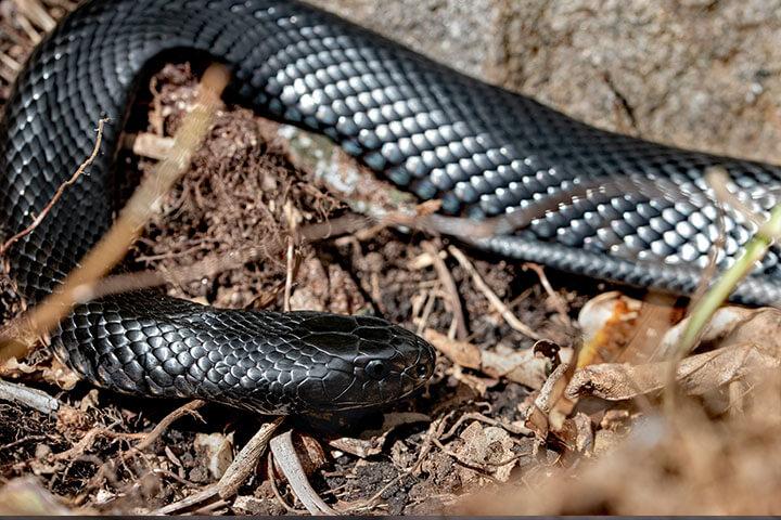 Nằm mơ thấy rắn đen