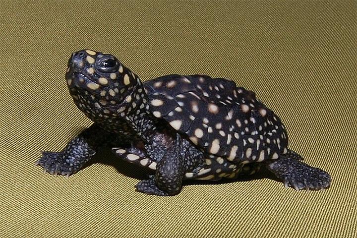 mơ thấy rùa đen