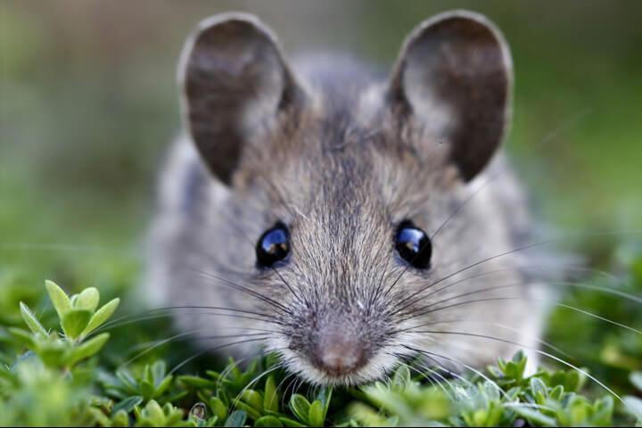 Nằm mơ thấy chuột tấn công