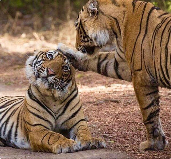 Nằm mơ thấy hai con hổ