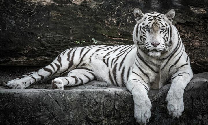 Nằm mơ thấy hổ trắng