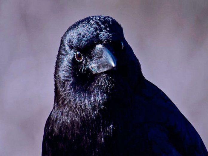 Điềm báo quạ kêu