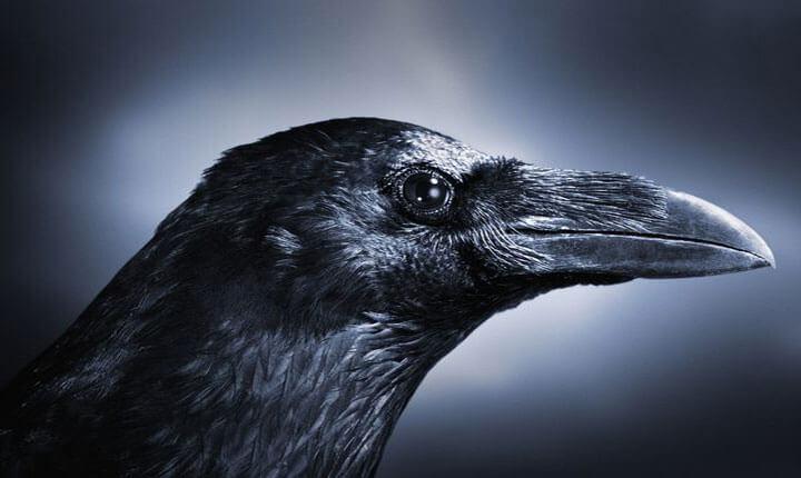Giải mã điềm báo về quạ