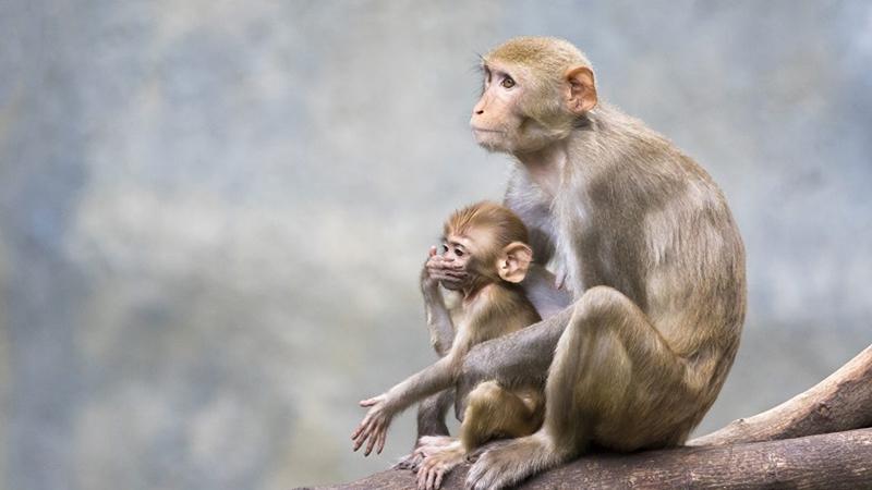 Mơ thấy khỉ chết hoặc thấy khỉ bị giết