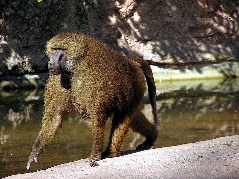 Chiêm bao thấy khỉ đầu chó
