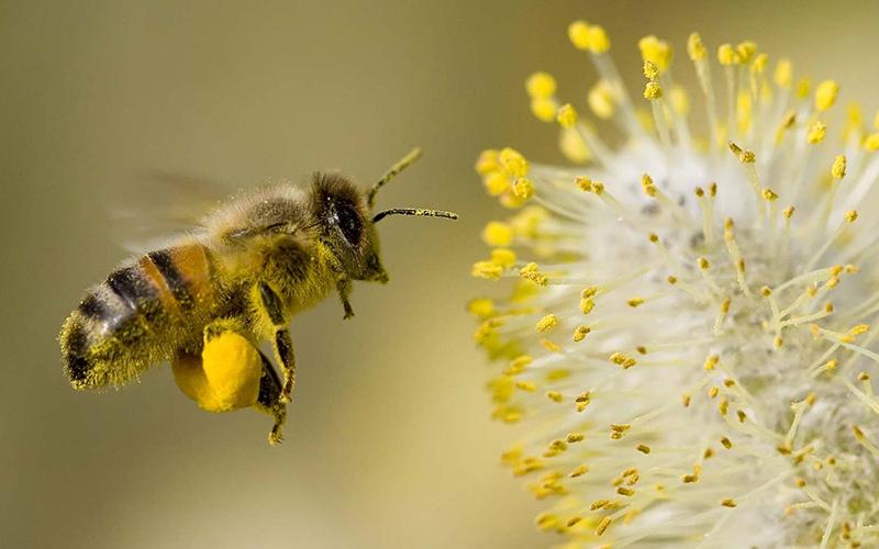 Nằm mơ thấy ong đáng lấy mật là điềm gì?