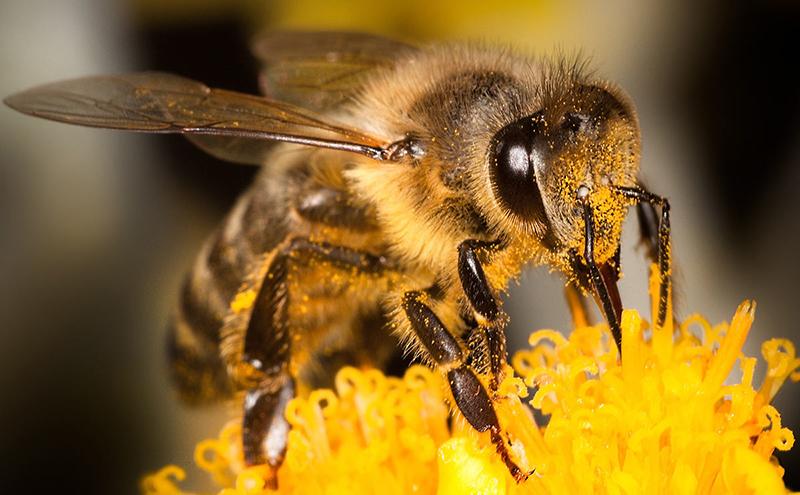 Ngủ mơ thấy ong vàng