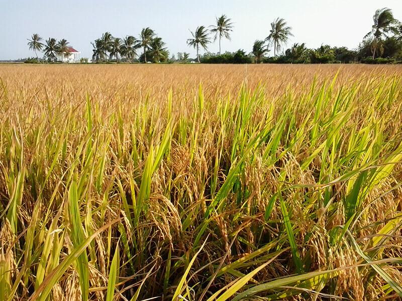 Ngủ mơ thấy đang chở lúa về nhà