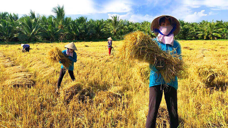 Mơ thấy đang gặt lúa